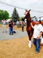 May 12: California Chrome, accompanied by Preakness candidates Ride On Curlin and General a Rod, arrives at Pimlico Race Course.
