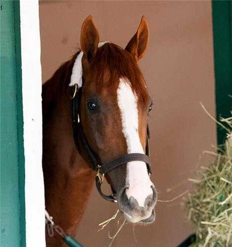 May 12: California Chrome in Pimlico stall