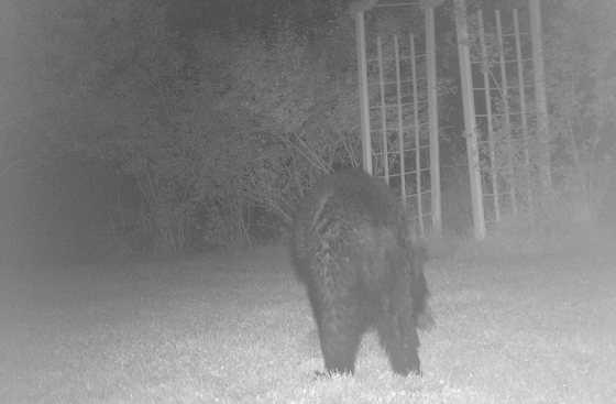 Ellicott City viewer Rober Davis captures a bear on his surveillance camera.