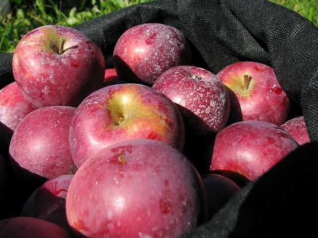 Megan's favorite fruit is apples