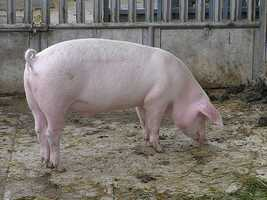 "Megan's favorite animal is the pig. ""They're smart and so cute. I keep trying to talk my husband into getting one."""