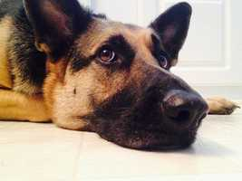 Zara is a 4-year-old German shepherd that is black and tan with a white chest. If you see Zara, call 410-215-1809 or 443-995-0633.