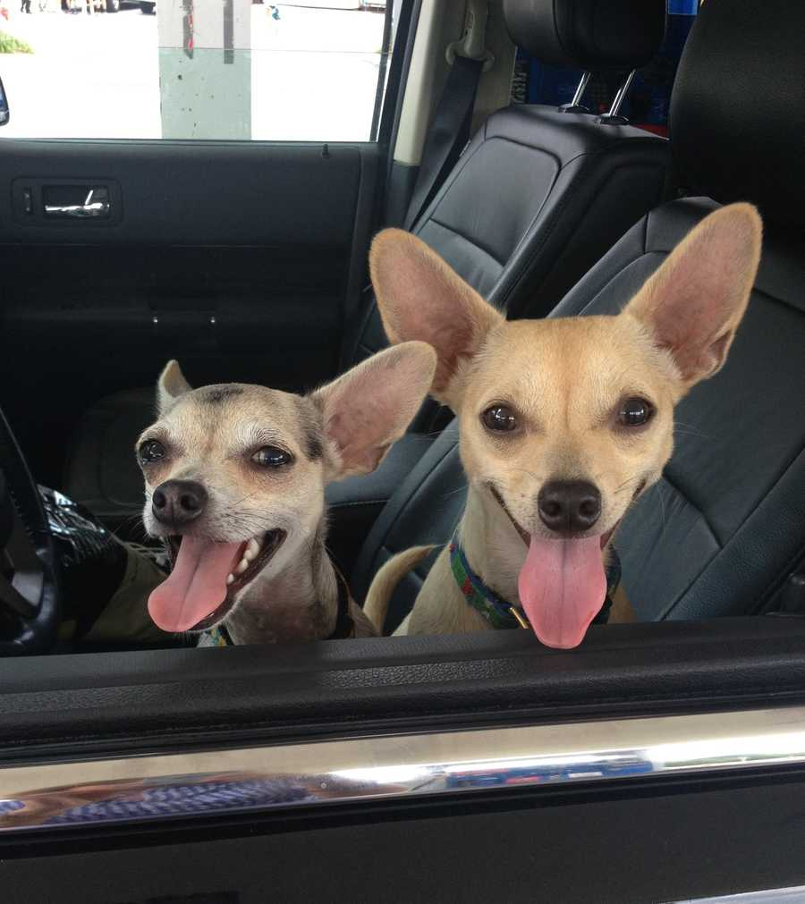 Deborah and her family have rescue Chihuahuas named Rice and Beans.