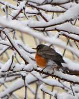 """If anyone is wondering where the first robins of spring are, I have the answer. They are all in my back yard in Glen Burnie. I've counted 37 but can't get all of them in one photo.  I've never seen so many robins together before,"" Patrick Lynch said."