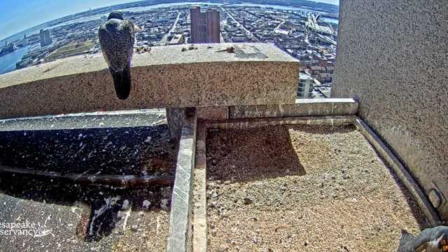 Peregrine falcons relax at the top of the TransAmerica building in Baltimore.  People can view their activity on a new webcam.