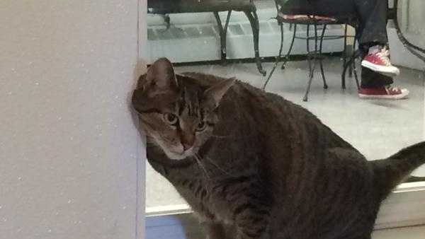Baltimore Humane Society says it has selected a 5-year-old cat named Mindy as its champion for the tournament.
