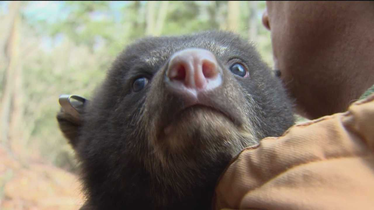 A baby boom is boosting the black bear population in Maryland, according to the Department of Natural Resources.