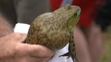 Preakness frog hop