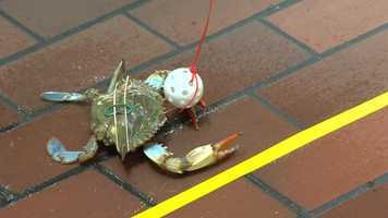 Preakness Crab Derby