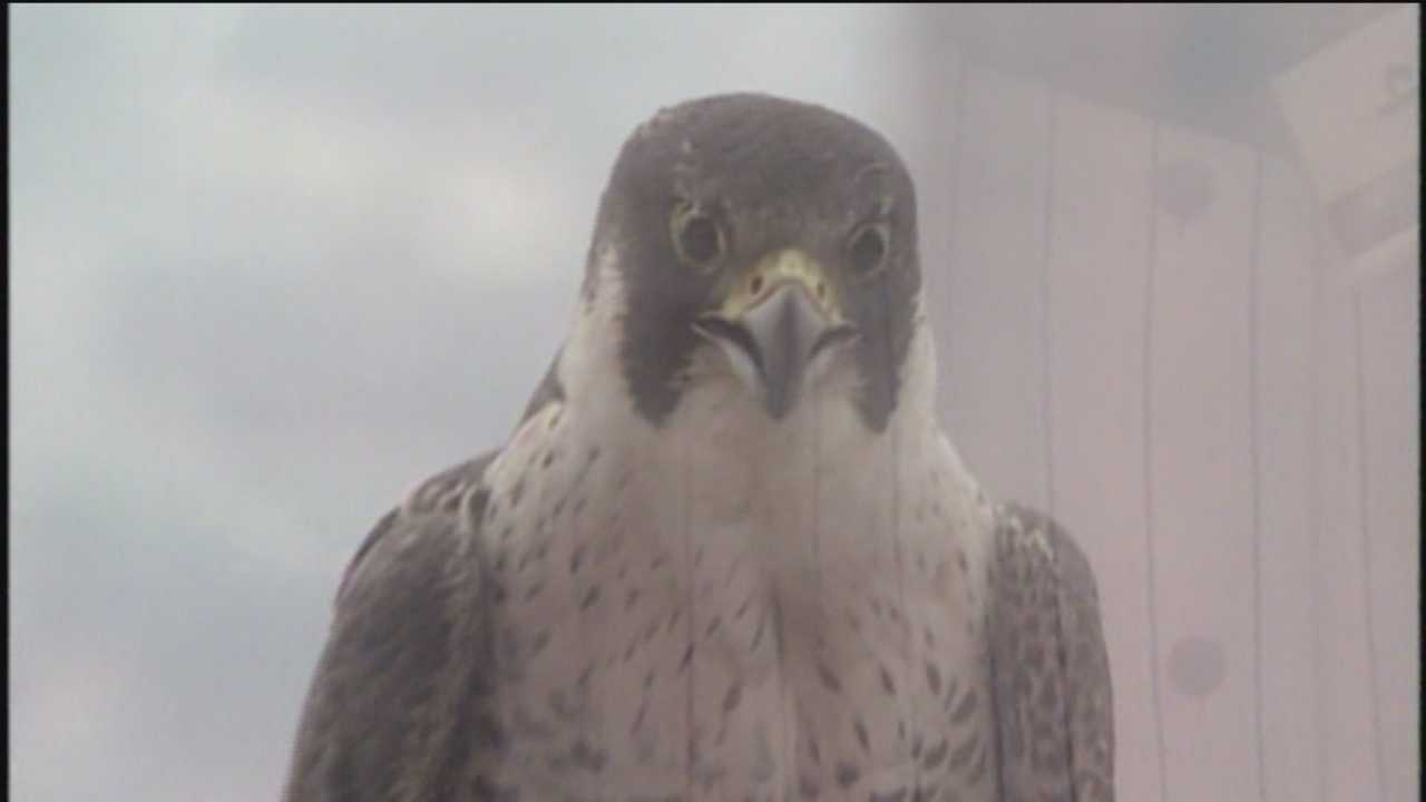 There's a lot going on the ledge of the 33rd floor of the Transamerica Building. Baltimore's Peregrine Falcons Bo and Barb are new parents.