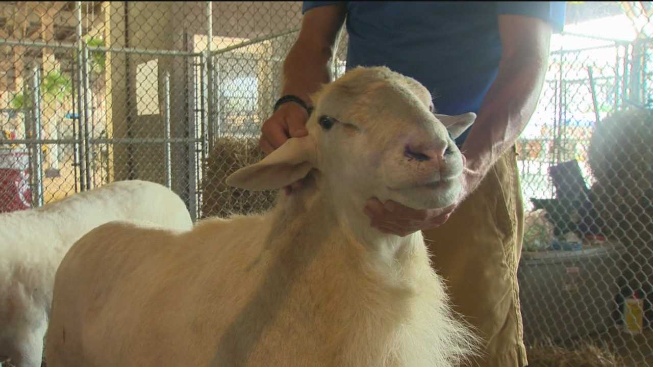 Harford County Executive Barry Glassman hasn't let his day job get in the way of one of his other passions: raising sheep.