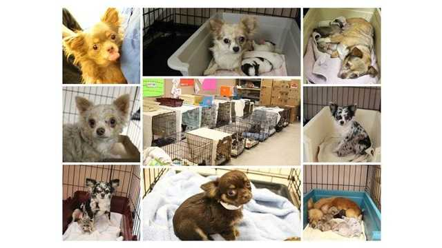 Baltimore City Animal Control received 53 Chihuahuas from a woman who could no longer care for the animals. The dogs were turned over to the Baltimore Animal Rescue and Care Shelter (BARCS) to be cared for and prepared for adoption.