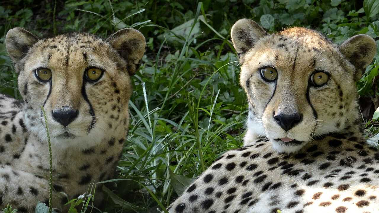 Siblings Tuli and Teep died from veno-occlusive disease, a genetic, cheetah-specific liver disease that was diagnosed from liver biopsies in late December, zoo officials said.