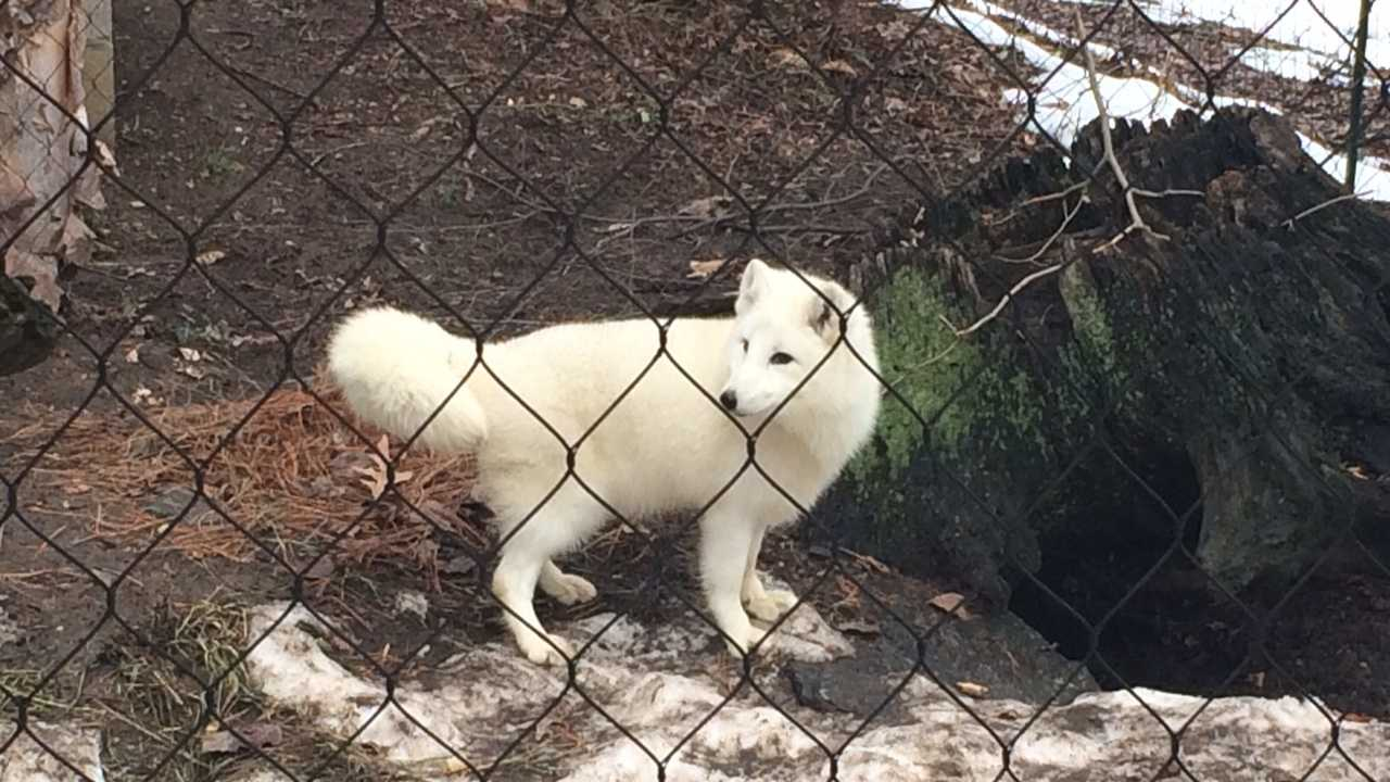 Two young Arctic fox were introduced to the Maryland Zoo in Baltimore's Polar Bear Watch section. Pictured here is Luna, a female fox.