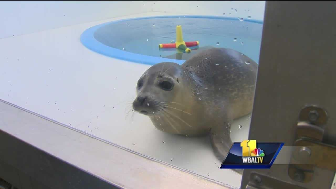 The National Aquarium isn't just cool exhibits, education and conservation&#x3B; it also rescues animals. The aquarium is currently caring for a seal that was rescued from Delaware and was in need of serious treatment.