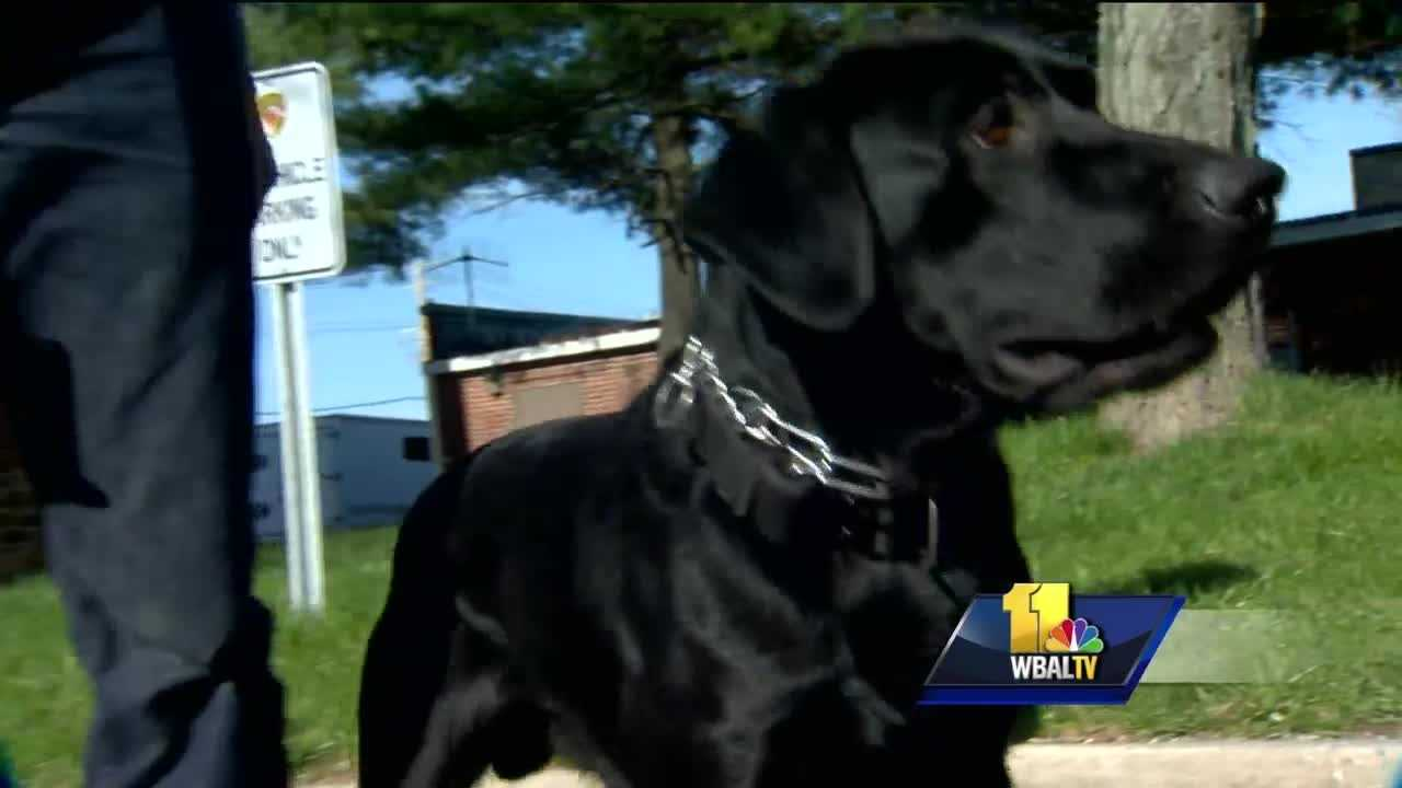 Maryland State Police are hoping to stay one step ahead of terrorists, and they are on the cutting edge of that fight thanks to some very talented creatures. It is a new era in detecting explosives as state police dogs can now sniff out bomb-making material on a person walking through a large crowd.