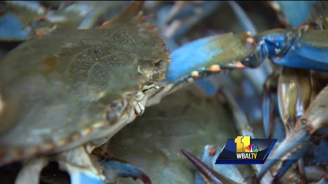 There is some good news for crab lovers as the Department of Natural Resources released its annual dredge survey. The DNR said it shows a boom for Maryland blue crabs. According to the survey, there are more than 550 million blue crabs in the Chesapeake Bay this season.