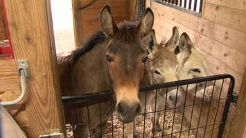 A donkey rescue is hosting an open house this weekend in Carroll County in hopes of raising matching funds to keep a grant from the American Society for the Prevention of Cruelty to Animals. Donate here.