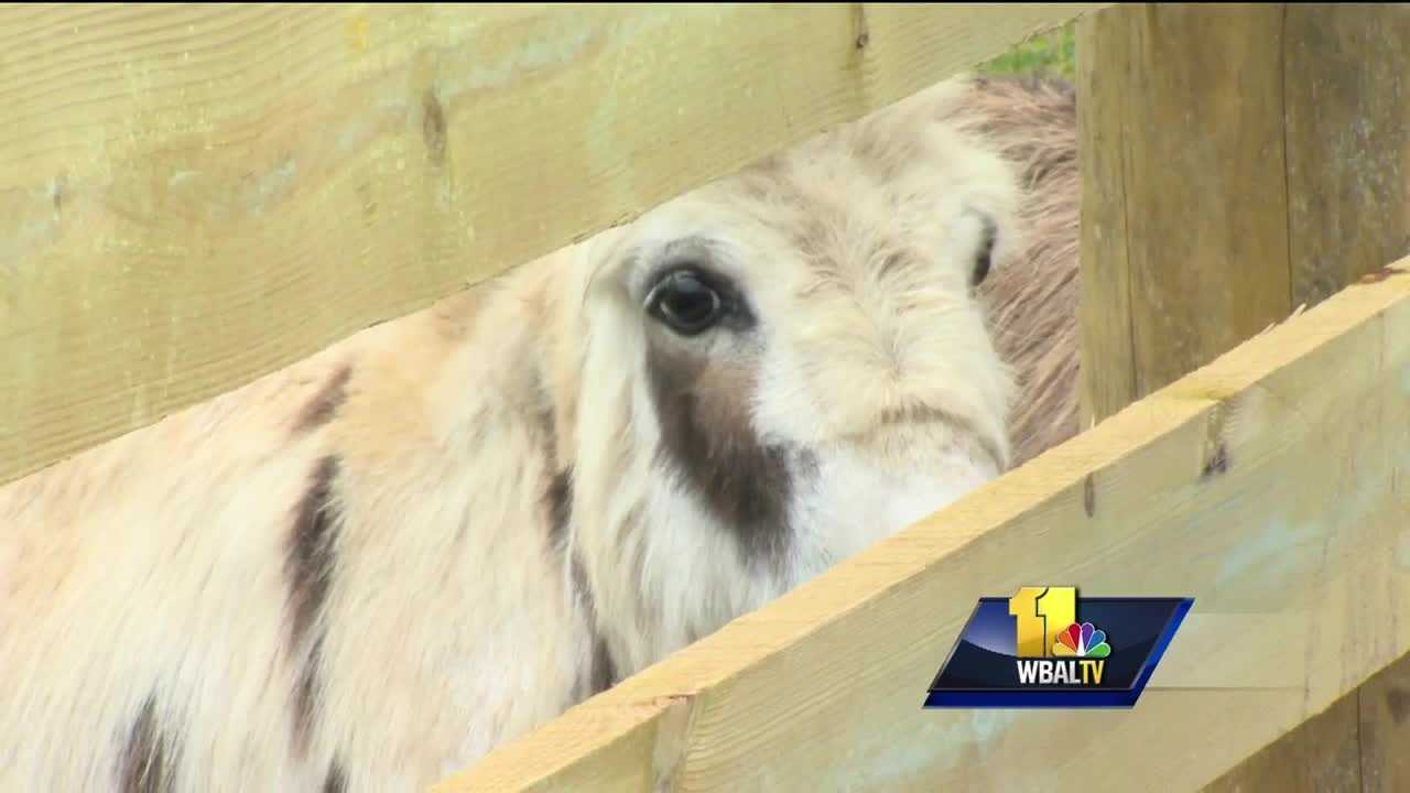 A donkey rescue is hosting an open house this weekend in Carroll County in hopes of raising matching funds to keep a grant from the American Society for the Prevention of Cruelty to Animals.