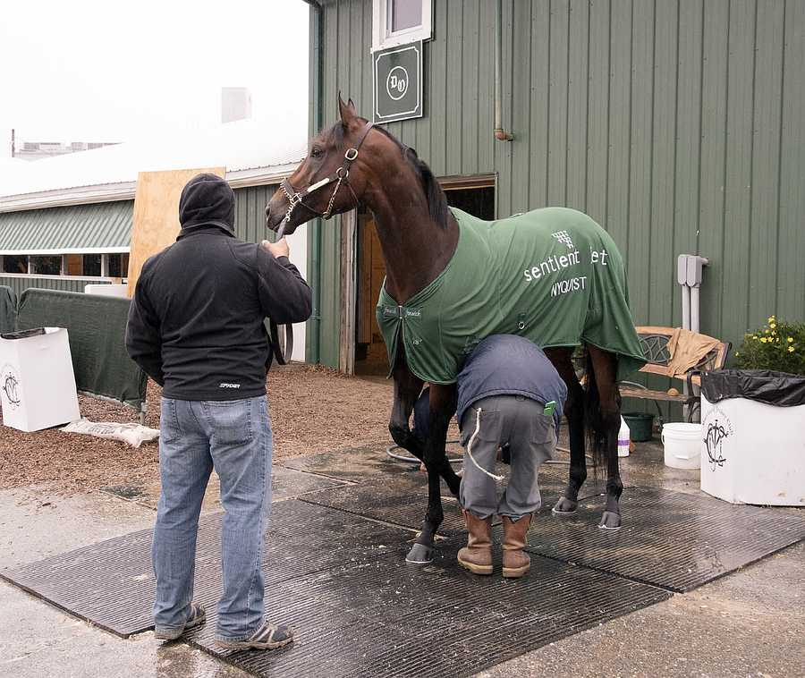 Nyquist at Pimlico the day after the Preakness