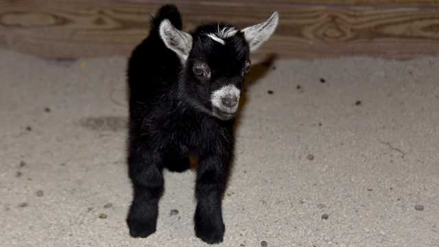 The Maryland Zoo in Baltimore announces the birth of a male African pygmy goat kid.