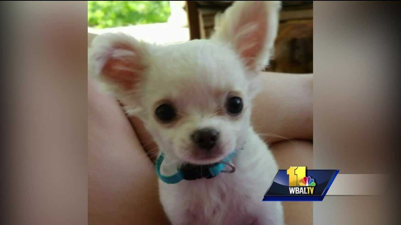 Anne Arundel County police have charged a woman who is accused of kicking a puppy to death. Police said they believe that a 3-month-old Chihuahua, Harley, may have been kicked to death. Jessica Miskimon fought back tears Thursday as she relived the painful way in which Harley died.