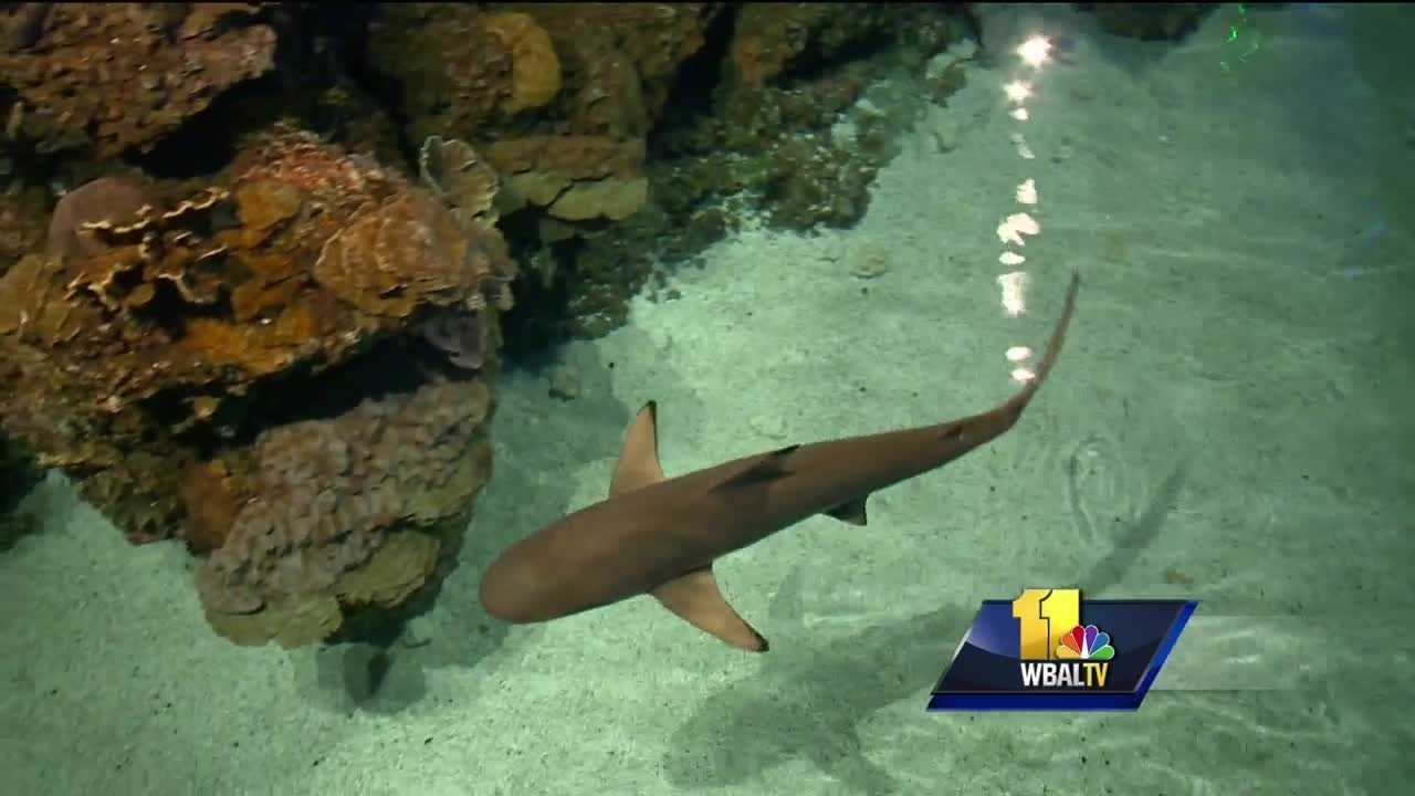 It started out as a week of TV programming, dedicated to an apex predator, sharks. Now, shark week is cultural phenomenon. The National Aquarium in Baltimore has partnered with the Discovery Channel to help educate people about shark week. The aquarium wants people to celebrate shark week even if they can't make it to the Inner Harbor.
