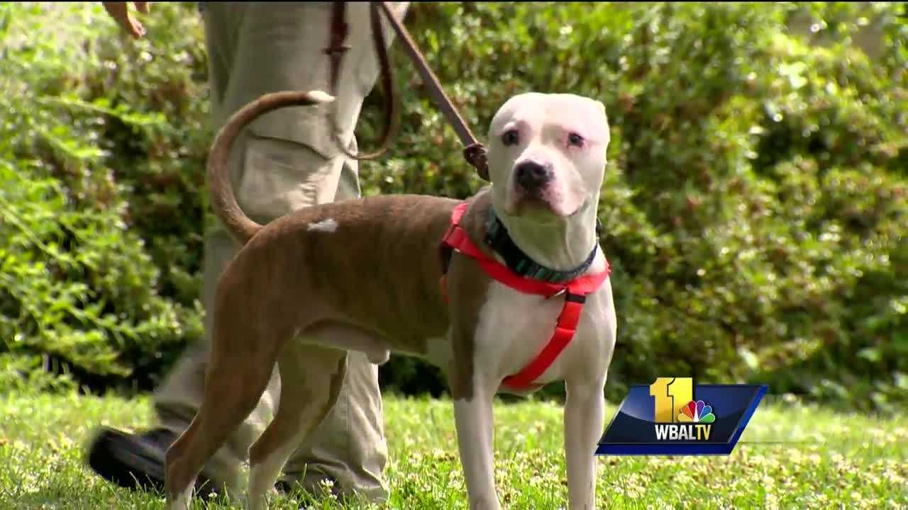 "It may be hard to believe, but it's only been a week since the popular ""Pokémon Go"" app rolled out for their smartphone and in that week many people have used walking their dogs as an excuse to add to their collection. It's a triple threat: Pokémon, people and pets. Now, the Maryland SPCA is jumping into the mix. For two days, Saturday and Sunday, ""I choose you"" is the motto. The SPCA is waiving adoption fees for their adult cats and dogs as long as people say one word: Pokémon."
