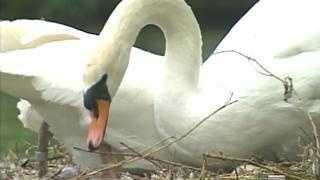 Boston Swans - 3375173