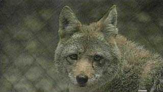 Coyote - 3297910