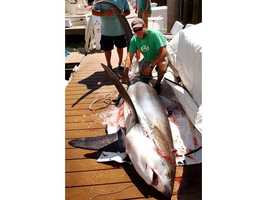 Three Scituate fishermen reeled in a 325-pound thresher shark off the coast of Massachusetts in July 2010.