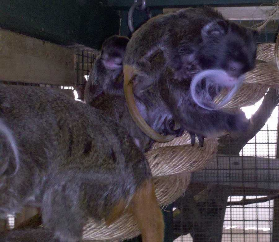 A pair of emperor tamarin monkeys that were born in March made their public debut at the Stone Zoo.