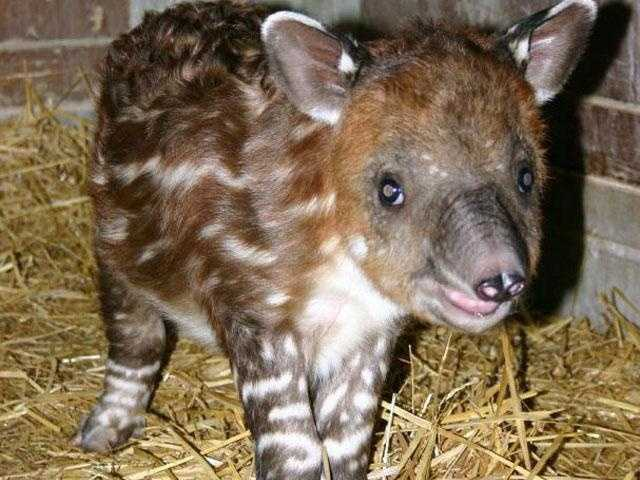 The staff at Franklin Park Zoo is pleased to announce the birth of a Baird's tapir in December.