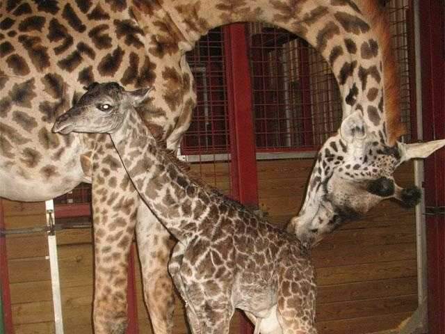 A new baby giraffe was introduced to the world at the Franklin Park Zoo in July.