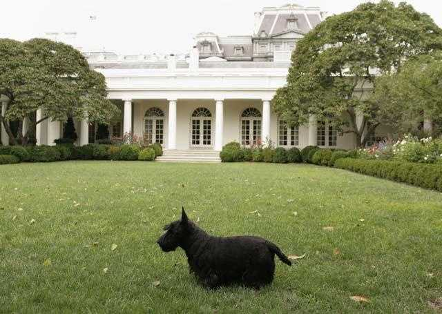 Barney was President George W. Bush's beloved Scottish terrier. Barney was a fixture in the White House during President Bush's eight years in office, often appearing on the internet using 'Barney Cam'.