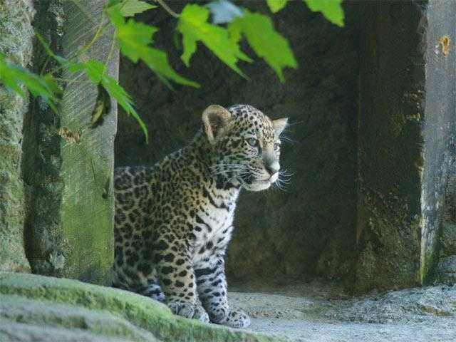 This jaguar cub was born at the Stone Zoo in May 2008 to parents Kanga and Pacal