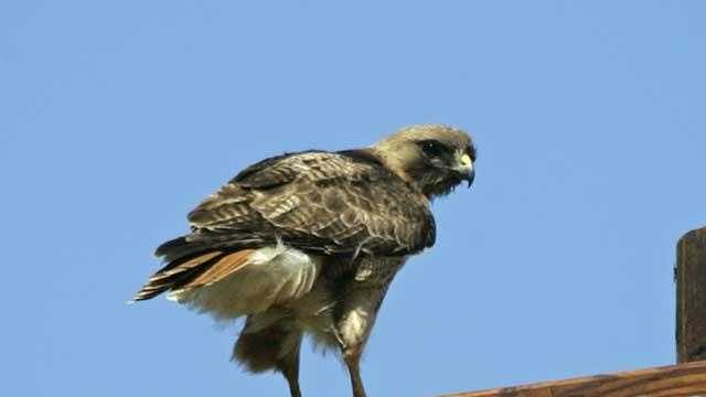 Red-Tailed Hawk - 16757869