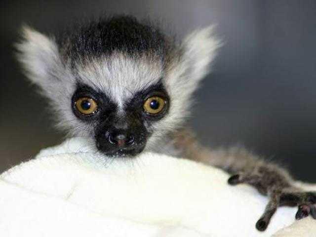 Ring-tailed lemur born April 25