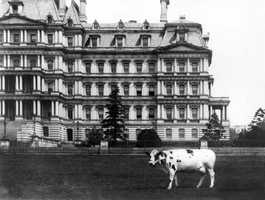 the president's cows could be found grazing in Washington. This is President Taft's Pauline Wayne, the last cow at the White House (c.1908).