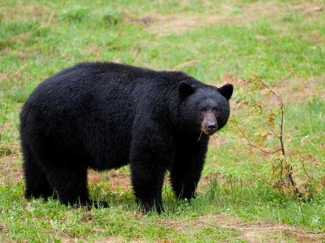 Calvin Coolidge had a bear,