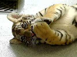 Martin Van Buren had a pair of tiger cubs, a gift from dignitaries.