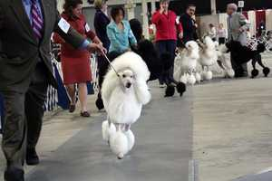 Some of the dogs that are competitors are major dog show competitors.