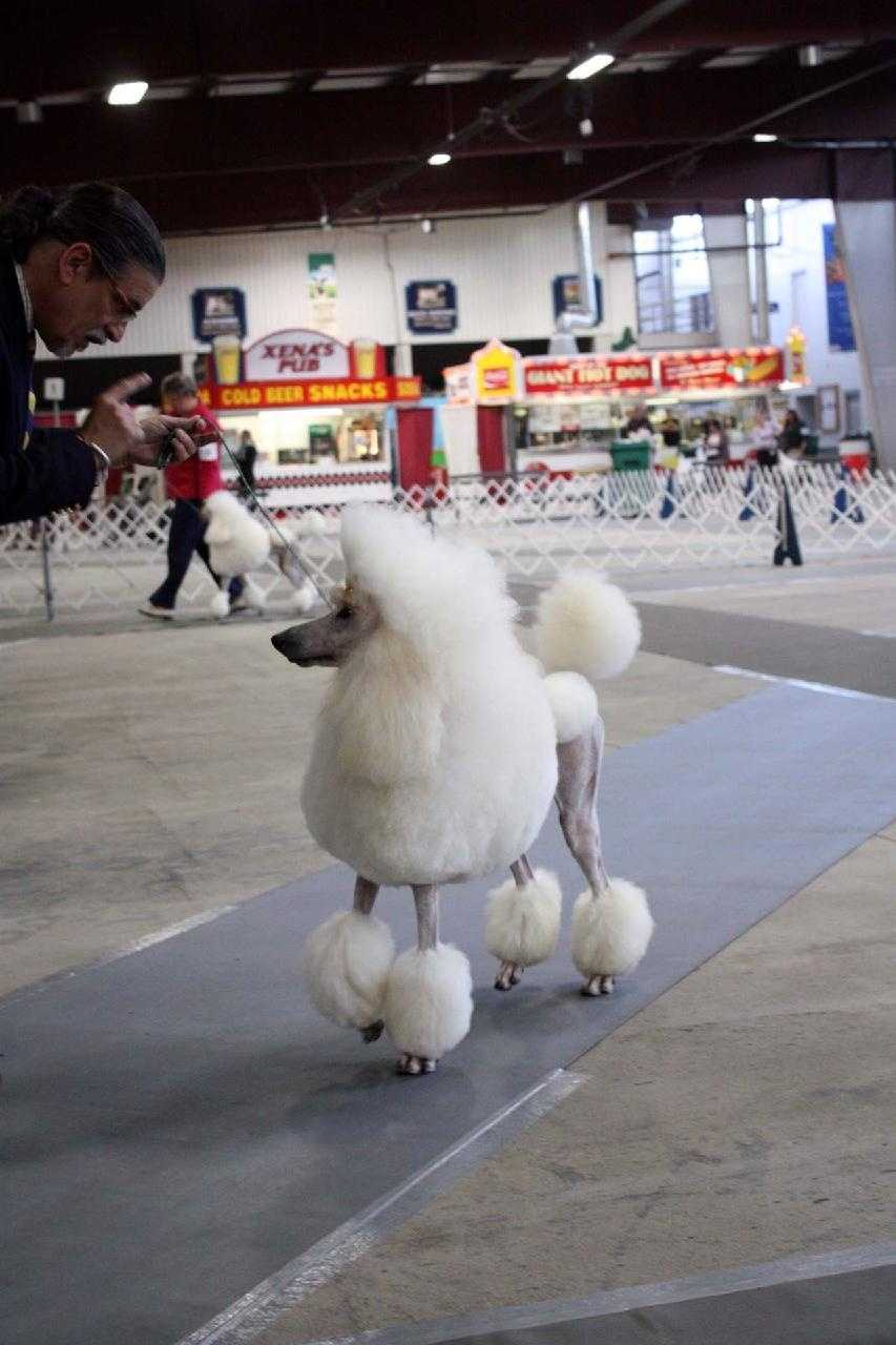 The standard poodle is the most-groomed dog in the show ring.