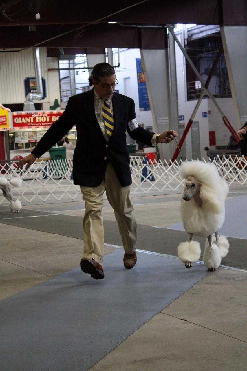 A standard poodle competes.