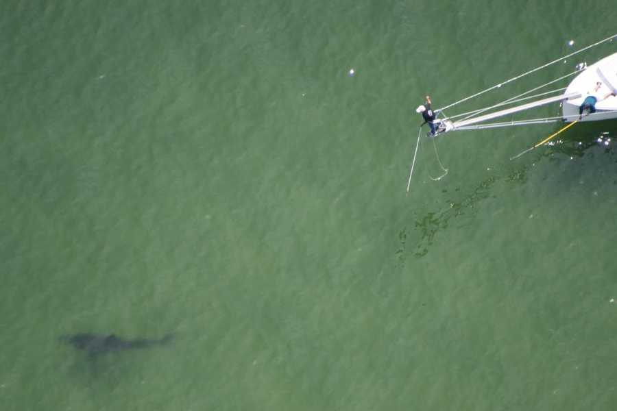 Wildlife officials tagged several great white sharks off the Chatham in August 2011.