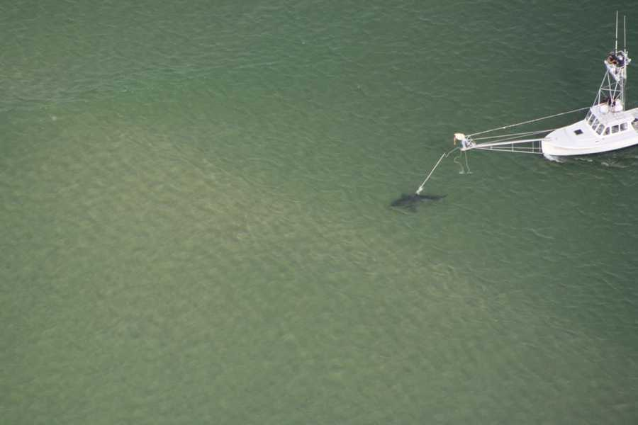 Three great whites were tagged on Aug. 2. Three others were tagged on July 28.