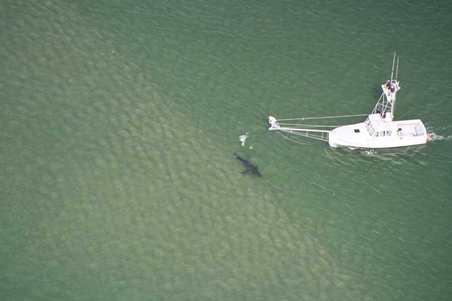 Great whites that were tagged off the Cape last year have been tracked to Georgia and the Gulf of Mexico.
