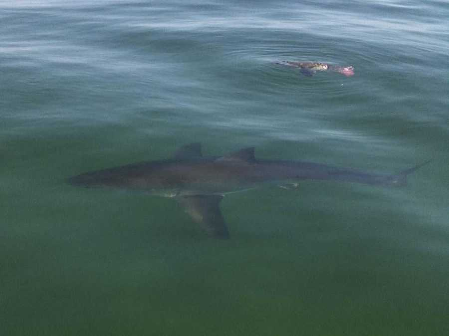 Paul Funk of Harwich was fishing on his boat July 1 when he spotted a shark off the southern side of Monomoy Island.