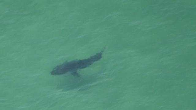 This great white shark was estimated to be 18 feet long.