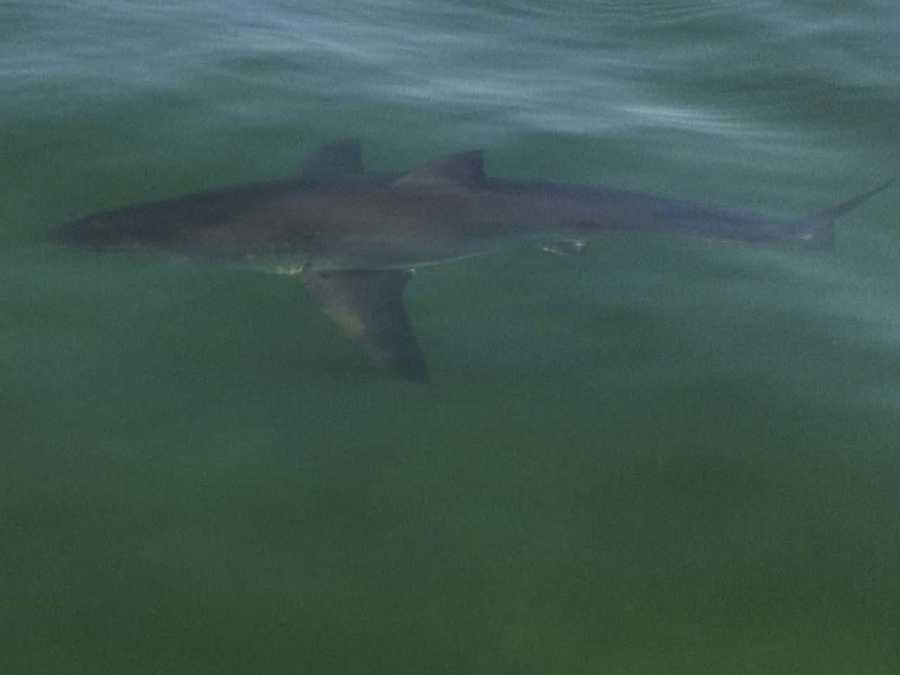 Six white sharks -- ranging from 10 to 18 feet in length -- were tagged off the coast of Monomoy Island from late July through mid-September 2010.